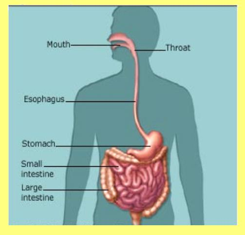 How Does Digestion Work